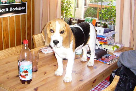 neues vom beagle anderson in vlotho und m hiller moor. Black Bedroom Furniture Sets. Home Design Ideas